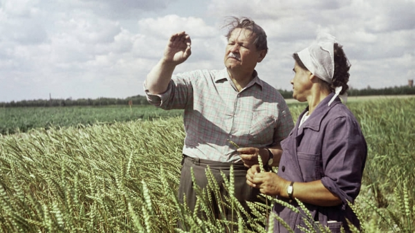 Уникальную пшеницу измельчили в навоз
